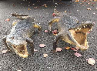 2 Taxidermy Gator Alligator Vintage Antique Open Mouth Full Body Juvenile
