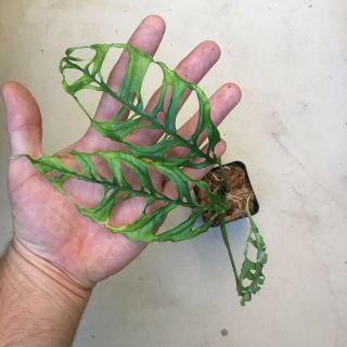 Monstera obliqua Rooted Cutting Extremely Rare Aroid - This Is The Real Deal 3