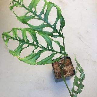 Monstera obliqua Rooted Cutting Extremely Rare Aroid - This Is The Real Deal 5