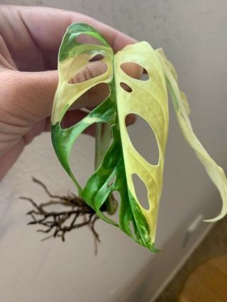 Albo Variegated Monstera Adansonii - Extremely Rare Aroid