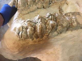 GOMPHOTHERE LOWER JAW SECTION RARE MULTIPLE TEETH FOSSIL MASTODON MAMMOTH 2