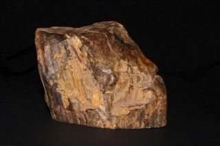 Rare Petrified Wood From The Prince Charle