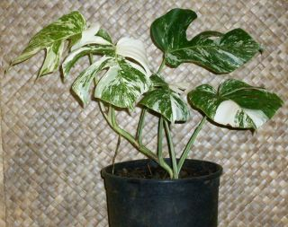 Rare White Albino,  Variegated Monstera Deliciosa,  Swiss Cheese,  Actual Plant