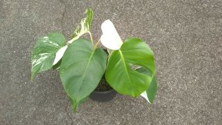 Rare White Variegated Monstera Deliciosa/ Swiss Cheese Plant.  Albino.  2 Plants