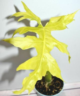 Rare Philodendron Warscewiczii Aurea Flavum - Gold Leaf Awesome Aroid