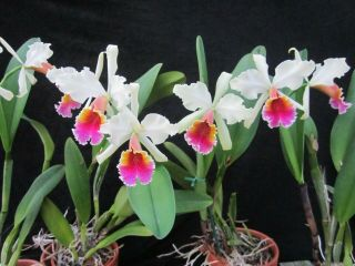 Rare Orchids - C Triumphans (dowiana X Rex) In Bud