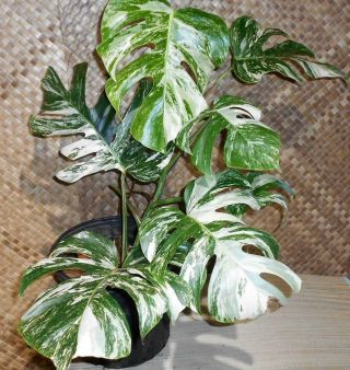 Xl Rare White Albino Variegated Monstera Deliciosa,  Swiss Cheese Plant Kauairix