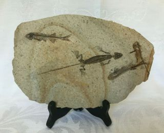 Rare Large Lycoptera Multi 3 Fish Fossil With Reptile From Liaoxi China