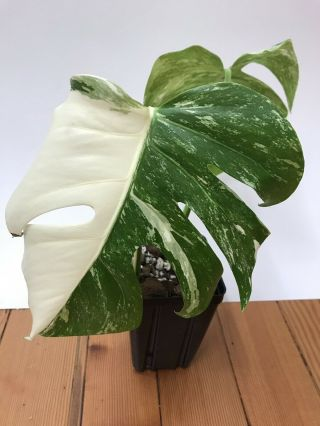 Variegated Monstera Deliciosa Albo Variegata - Rare Aroid Well Rooted