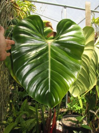 Philodendron Lynamii,  Creeping Species,  Extremely Rare Aroid Plant