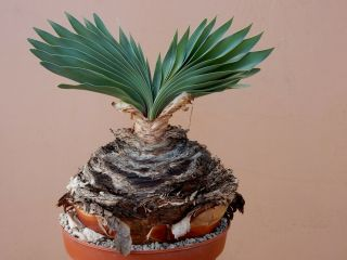 Boophane Disticha - Succulent - Caudex - Rare - South Africa - Import