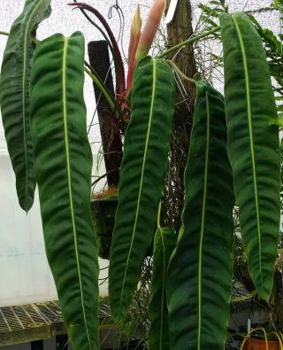 Philodendron Patriciae Long Leaf Beauty Rare Aroid For Tropical Plant Collectors